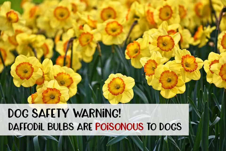 Daffodil bulbs are poisonous to dogs