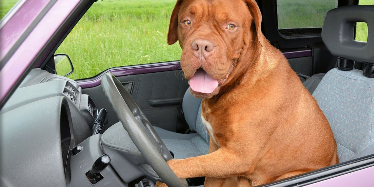 Dog sat in the driver's seat of a car