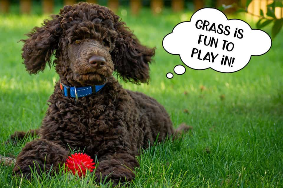 Poodle dog lying in the grass playing with a ball toy