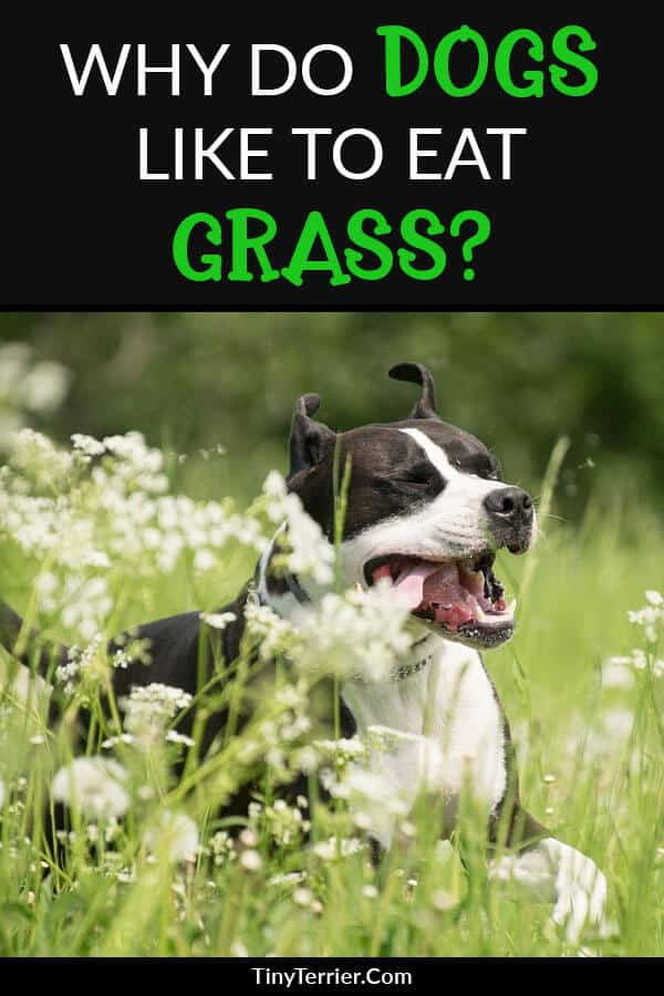 Why Does my Dog Eat Grass? Is it Dangerous?