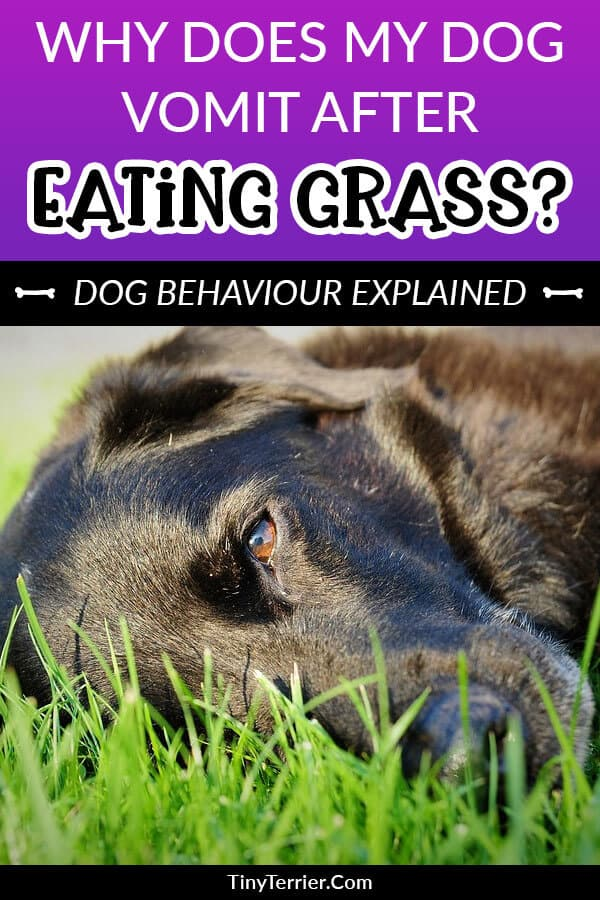 Why do dogs like to eat grass? Dog behaviour explained. Find out why dogs like to eat grass and then vomit.