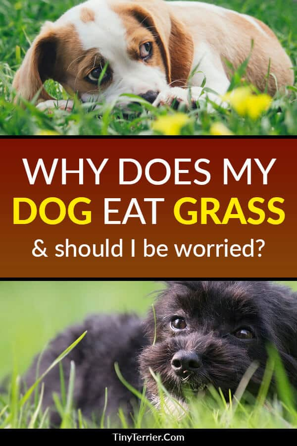 The first time I saw my puppy eat grass, I immediately panicked and started Googling to find out if garden grass was poisonous to dogs. Luckily, it isn't – and it's a perfectly natural thing for a dog to do.