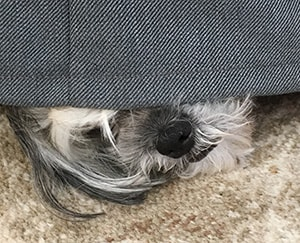 Dog hiding under the sofa