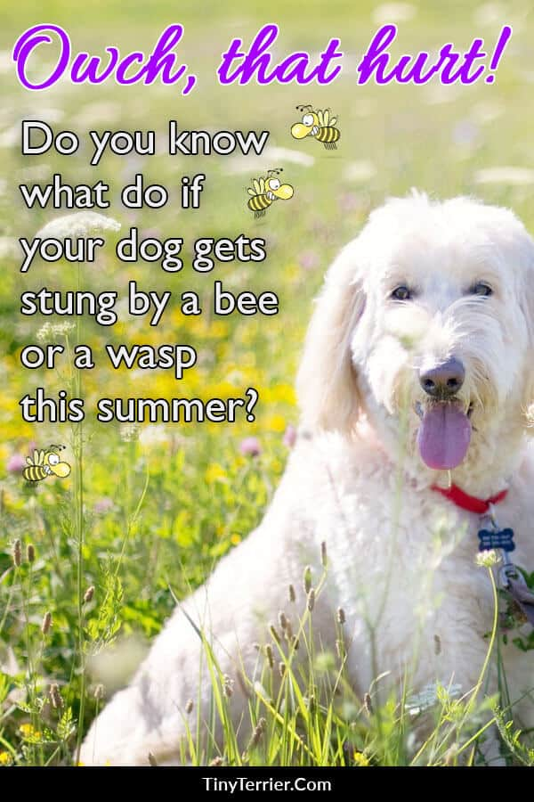 What should you do if your dog gets stung by a wasp or a bee?