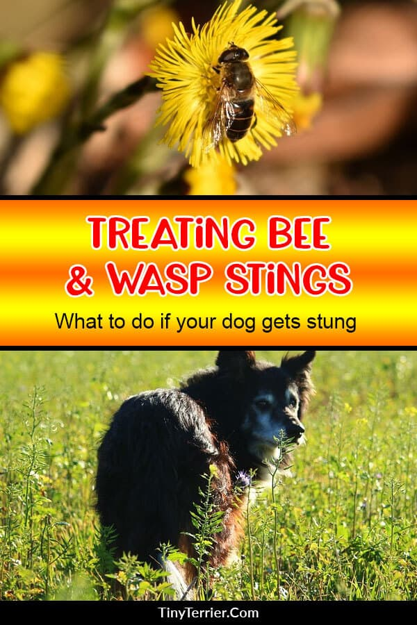 What to do if your dog gets stung by a bee. How to treat wasp stings in dogs. #petcare #dogcare #dogcaretips