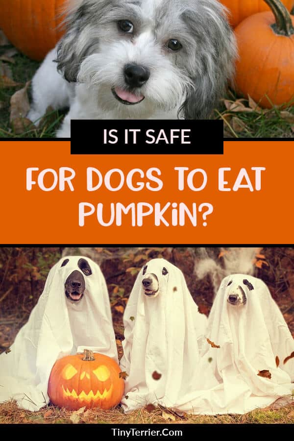 Can you feed pumpkin to a dog, and is it safe?