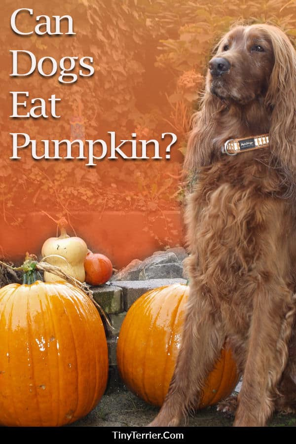 Can dogs eat pumpkin? If you are tempted to feed pumpkin to your dog then read this to find out what pumpkin is safe and which parts are not safe for dogs.