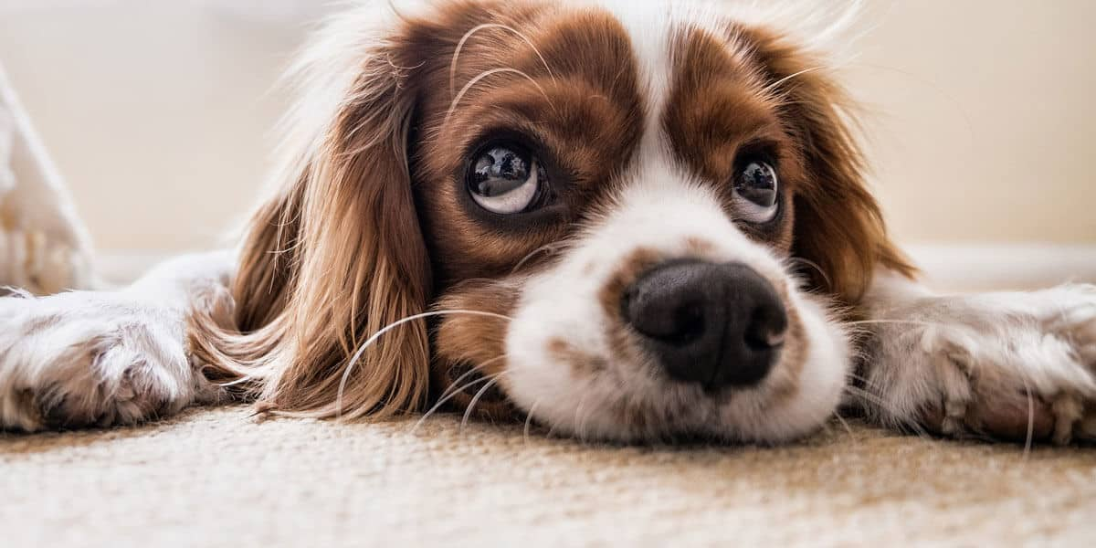 How to get dog urine stains out of the carpet and prevent stains