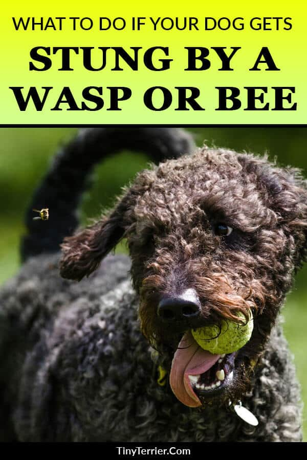 Just like for humans, being stung by a wasp or a bee can cause irritation, but dogs can also be allergic to the sting, or if they receive several stings, they could even end up becoming very ill. So, what should you do if your dog gets stung by a wasp or a bee?