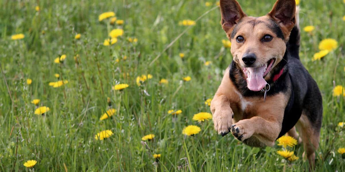Dog running and getting exercise