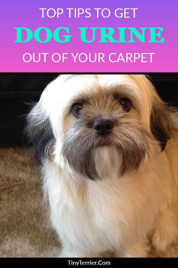 Tips to prevent dog urine from staining your carpet. Find out the best way to clean up dog urine from the floor and how to stop stains forming on your lovely household carpets.