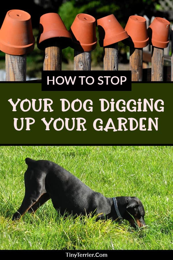 How to stop your dog from digging up the garden. Top tips to protect your garden from your dog.