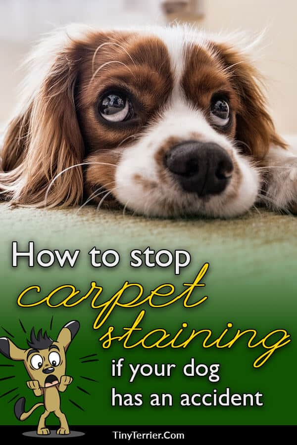 When you get a new dog (especially a puppy), you can pretty much guarentee at least a couple of accidents on the carpet. Here is how to get dog pee out of your carpet without leaving a stain.