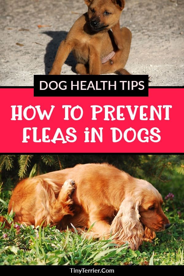 How to find out if your dog has fleas, what can you do to treat them and how to prevent dog fleas in the future.