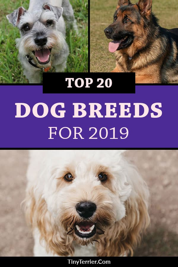 Top 20 dog breeds for 2019. Find out the UK's favourite dog breeds for 2019 with this countdown of the top 20 most popular dog breeds. Number 1 might surprise you! #dogs #dogbreeds