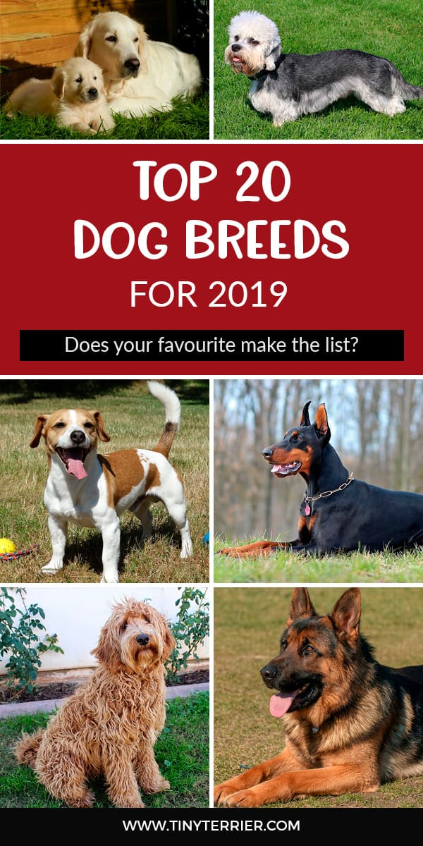 Can YOU guess the TOP dog breed for 2019? I bet the answer will surprise you. Discover the best dog breeds for 2019 and which dog breeds are the most popular. Whether you're a Jack Russell lover or would do anything for a Doberman, Cavachon, German Shepherd or Daschund; find out where your favourite dog breed comes in the list of most popular dog breeds this year. #dogs #dogbreeds #dogowner