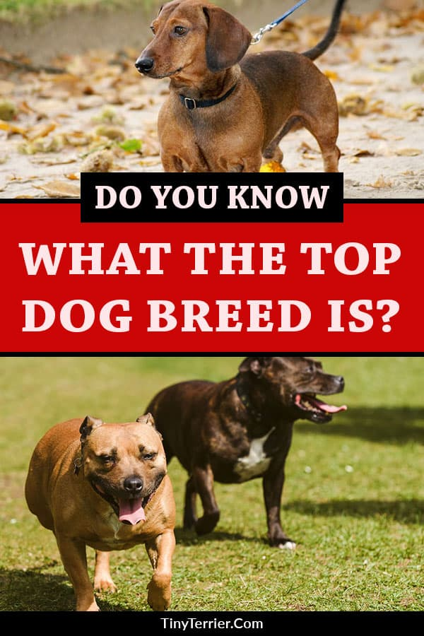 Do you know what the top breed is? Check out the survey results to discover the UK's best dog breed for 2019. Is it a staffie or a shnauzer? A collie or a labrador? Get the results of the top dog breeds for 2019 here! #dogs #dogsofpinterest #ilovedogs