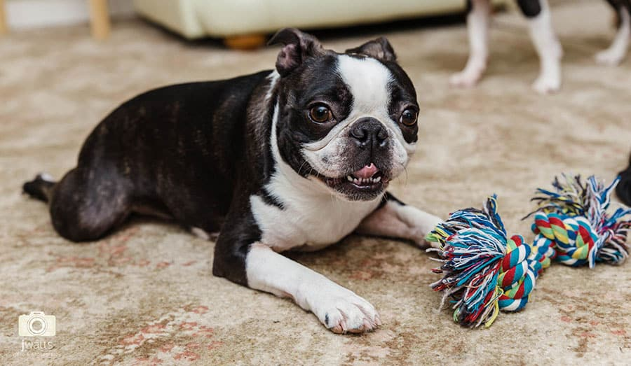 Boston terrier puppy with rope toy