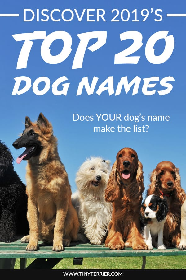 Top 20 Dog Names for 2019. Discover the Top 10 dog names for girls and Top 10 most popular dog names for boys. If you're looking to get a new dog, you might be wondering what the top dog names are so that you can give them a popular name. Does your dog's name make the list? #newdog #puppy #top20 #dognames