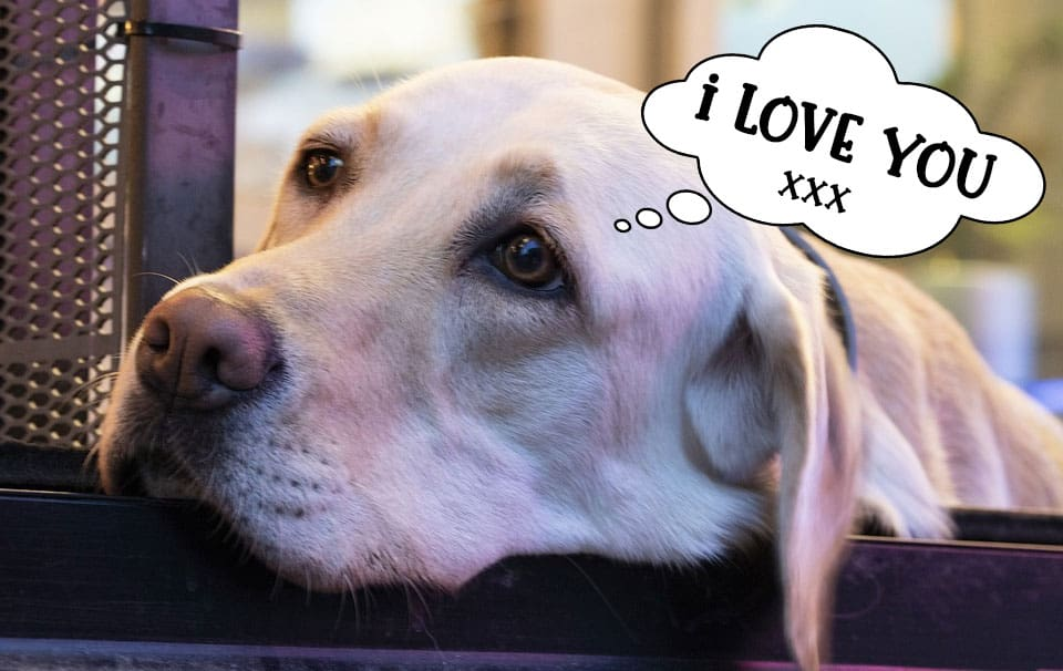 Labrador retriever saying 'I love you' to his owner