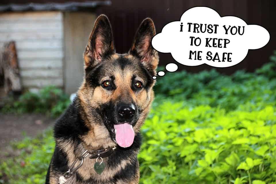 German Shepherd dog staring at owner to keep him safe