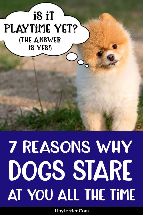 7 reasons why dogs stare at you all the time. Get answers to those essential dog owner questions like 'why do dogs stare at you when they poop', 'why does my dog stare into space' and 'why does my dog stare at me from across the room'. #dogs #dogbehavior #dogbehaviour