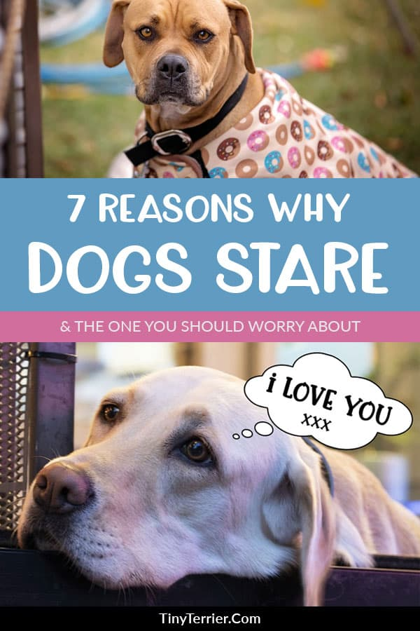 7 reasons why dogs stare. Find reasons dogs stare at you and if when you should be worried about your dog staring at you for too long.