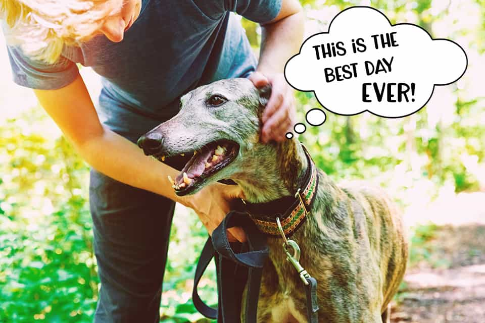 Sighthound in the woods having the best day EVER!