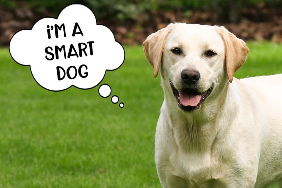 Labradors are smart dogs