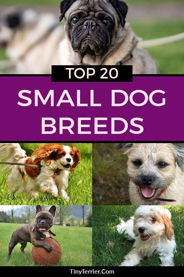 The top 20 small dog breeds for 2019. Does your favourite small dog breed make 2019's list of the top 20 small dog breeds? #smalldogs #dogbreeds