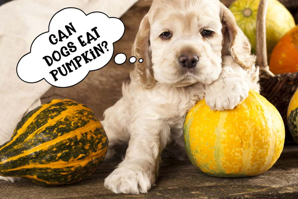 Can dogs eat pumpkin?