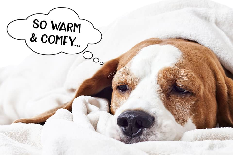 Comfy, warm dog in bed under the covers