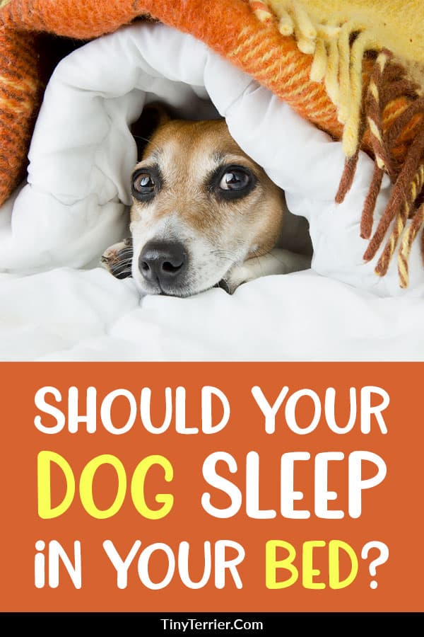 Should you Let your Dog Sleep in your Bed? Many dog owners let their dogs sleep in their beds with them, but should you really be letting your dog sleep in your bed? #petcare #hygge #dogtips