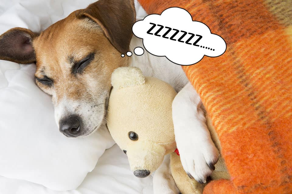Dog sleeping in bed with his teddy