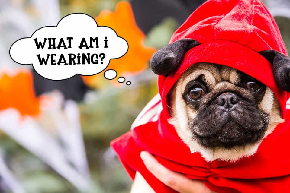 Dog wearing Halloween costume