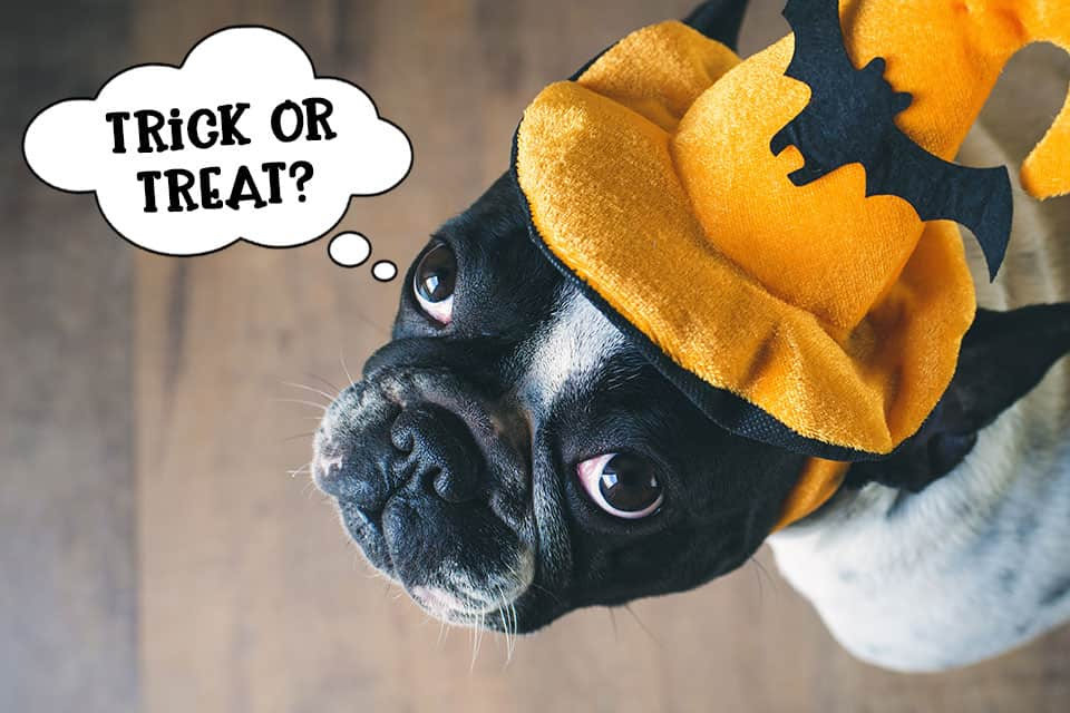 Trick or treat dog at Halloween