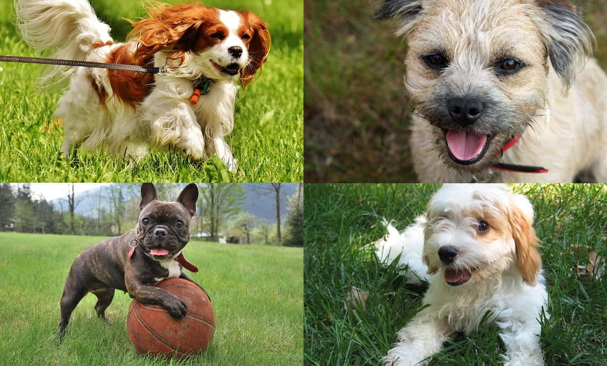 Top 20 Best Small Dog Breeds Tiny Terrier