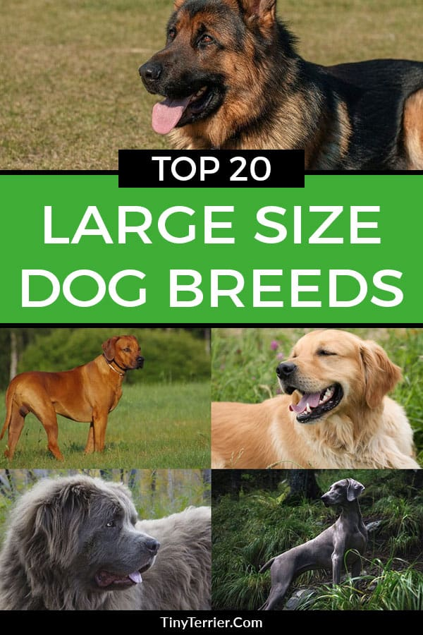 Do you know what the most popular large dog breed is? Find out Britain's most popular large dog breeds with this list of the best large and giant dog breeds. Can you guess Number 1?