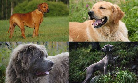 Top 20 Best Large Dog Breeds