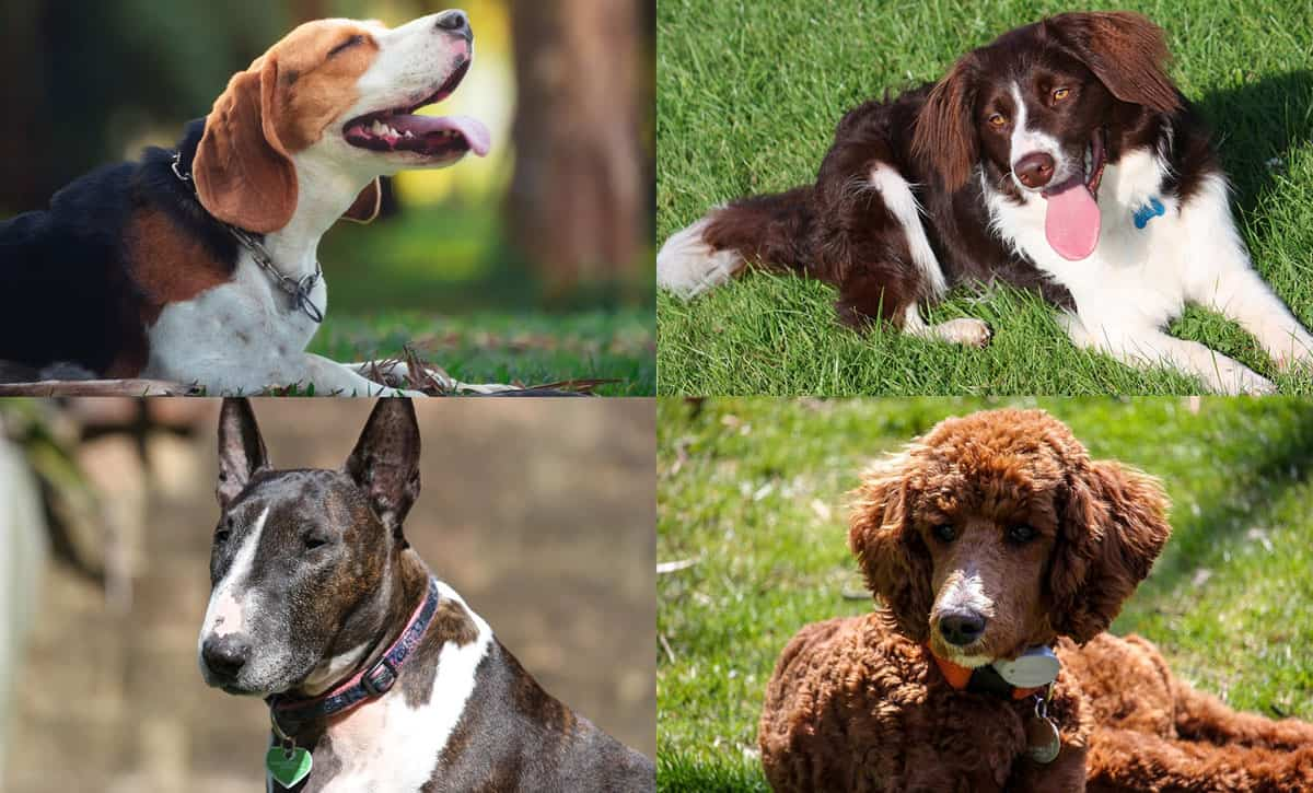 Top 20 Best Medium Dog Breeds