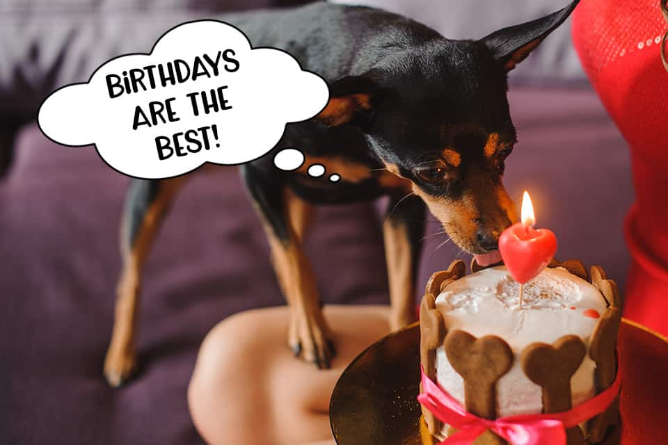 Minpin dog eating a birthday cake for dogs. He loves his pupcake!